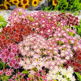 Мерцающая красота смесь семена флокса (Hem Zaden ПН)