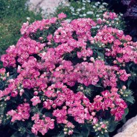 Промис лиловый семена флокса Друммонда махрового (Pan American)