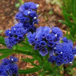 КИС темно-синий семена кермека (Pan American)