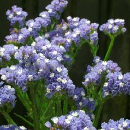 Голубой горизонт семена статицы (Hem Zaden)