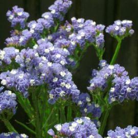 Голубой горизонт семена статицы (Hem Zaden ПН)
