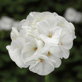 Пинто F1 белый семена пеларгонии (Syngenta)