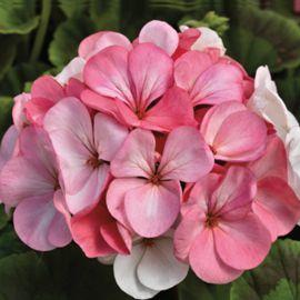 Пинто F1 бело-розовый семена пеларгонии (Syngenta)