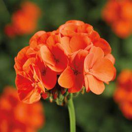 Пинто F1 оранжевый семена пеларгонии (Syngenta)