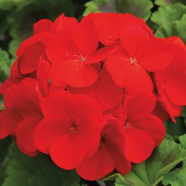 Пинто F1 темно-красный семена пеларгонии (Syngenta)