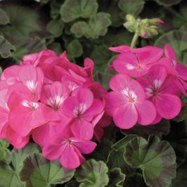 Пинто F1 темно-розовой семена пеларгонии (Syngenta)