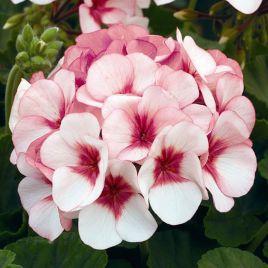 Маверик F1 белый с розовым глазком семена пеларгонии (Syngenta)