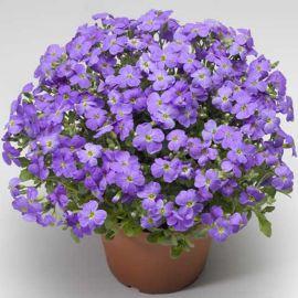 Одри F1 голубая семена обриеты (Syngenta)