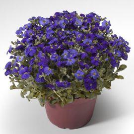 Одри F1 синяя с прожилками семена обриеты (Syngenta)