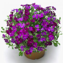 Одри F1 темно-пурпурной семена обриеты (Syngenta)