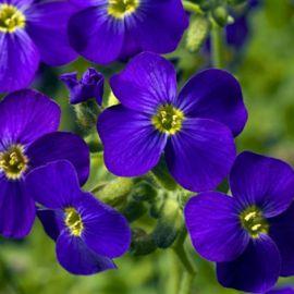 Одри F1 темно-синяя спрож семена обриеты (Syngenta)