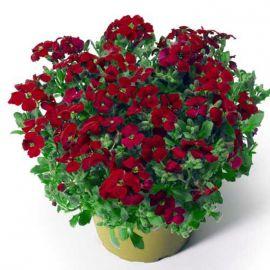 Одри F1 красная семена обриеты (Syngenta)