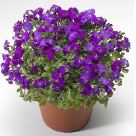 Одри F1 пурпурная с прожилками семена обриеты (Syngenta)