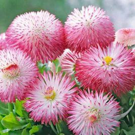 Хабанера розовая семена маргаритки (Benary)