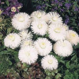 Хабанера белая семена маргаритки (Benary)