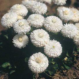 Рогли белая семена маргаритки (Benary)