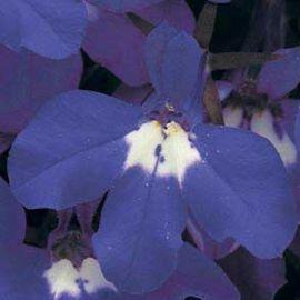 Ривьера синяя с глазком семена лобелии (Pan American)