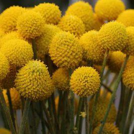 Краспедия шарообразная семена (Hem Zaden)