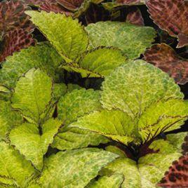 Визард пинейпл семена колеуса (Pan American)