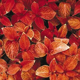 Визард сансет семена колеуса (Pan American)