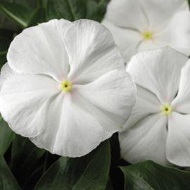 СанШторм F1 белый семена катарантуса (Syngenta)