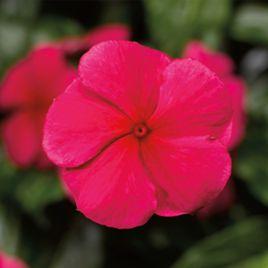 СанШторм F1 красный семена катарантуса (Syngenta)