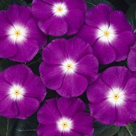 СанШторм F1 фиолетовый с глазком семена катарантуса (Syngenta)