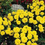 Георгина Фигаро F1 желтая (Yellow Shades)