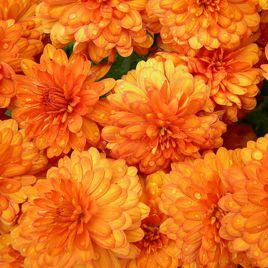 Фигаро F1 оранжевый семена георгины (Pan American)