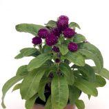 Будди пурпурная семена гомфрены (Benary)