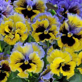 Фризли Сизли F1 желто-синий семена виолы (Pan American)