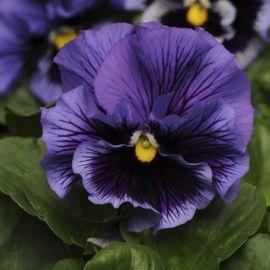 Фризли Сизли F1 синий семена виолы (Pan American)