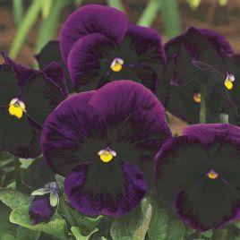 Карма F1 пурпурная семена виолы (Syngenta)