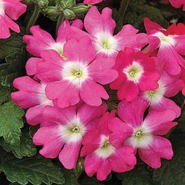 Тускани F1 розовая с глазком семена вербены гибридной (Syngenta)