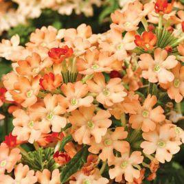 Обсешн F1 абрикосовая семена вербены гибридной (Syngenta)