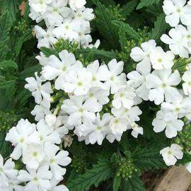 Обсешн F1 белая семена вербены гибридной (Syngenta)