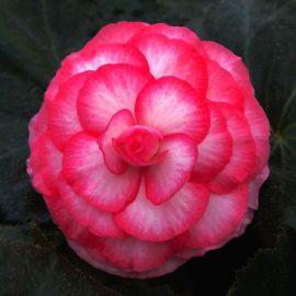 Гоу-Гоу F1 розовый биколор семена бегонии (Syngenta)