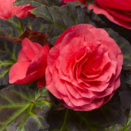 Гоу-Гоу F1 розовый семена бегонии (Syngenta)