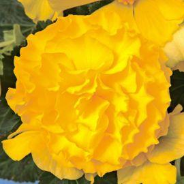 Гоу-Гоу F1 желтый семена бегонии (Syngenta)