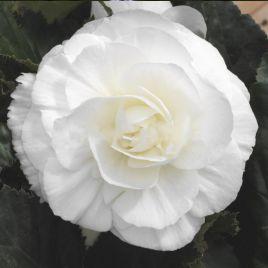 Гоу-Гоу F1 белый семена бегонии (Syngenta)