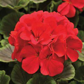 БуллзАй F1 красный семена пеларгонии (Syngenta)