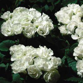 Примлет F1 белый семена примулы (Pan American)