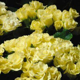 Примлет F1 лимонный семена примулы (Pan American)