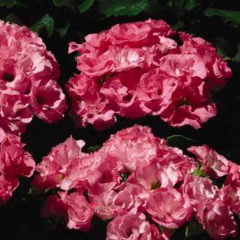 Примлет F1 розовый семена примулы (Pan American)