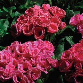 Примлет F1 розовый с ободком семена примулы (Pan American)