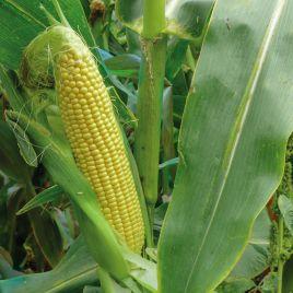 3517 F1 семена кукурузы суперсладкой Sh2 ультраранней 75 дн. 26 см (Lark Seeds)