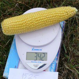 1525 F1 семена кукурузы суперсладкой Sh2 ультраранней 72 дн. 25 см (Lark Seeds)