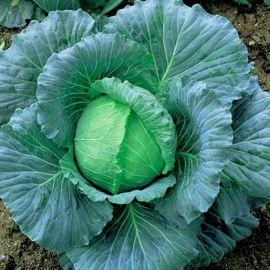 Пронка F1 семена капусты б/к поздней 120 дн. 2-4 кг окр. (Takii Seeds)