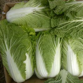 Нукоми семена капусты пекинской ранней 50-55 дн. 1-1,6 кг (Agri Saaten)