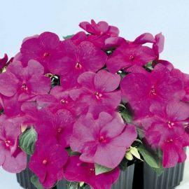 Баланс F1 фиолетовый семена бальзамина однол. (Hem Genetics)